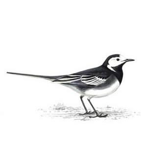Pied Wagtail Pheasant Call